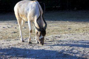 białej antylopy, screwhorn antylopy, pustyni Sahara