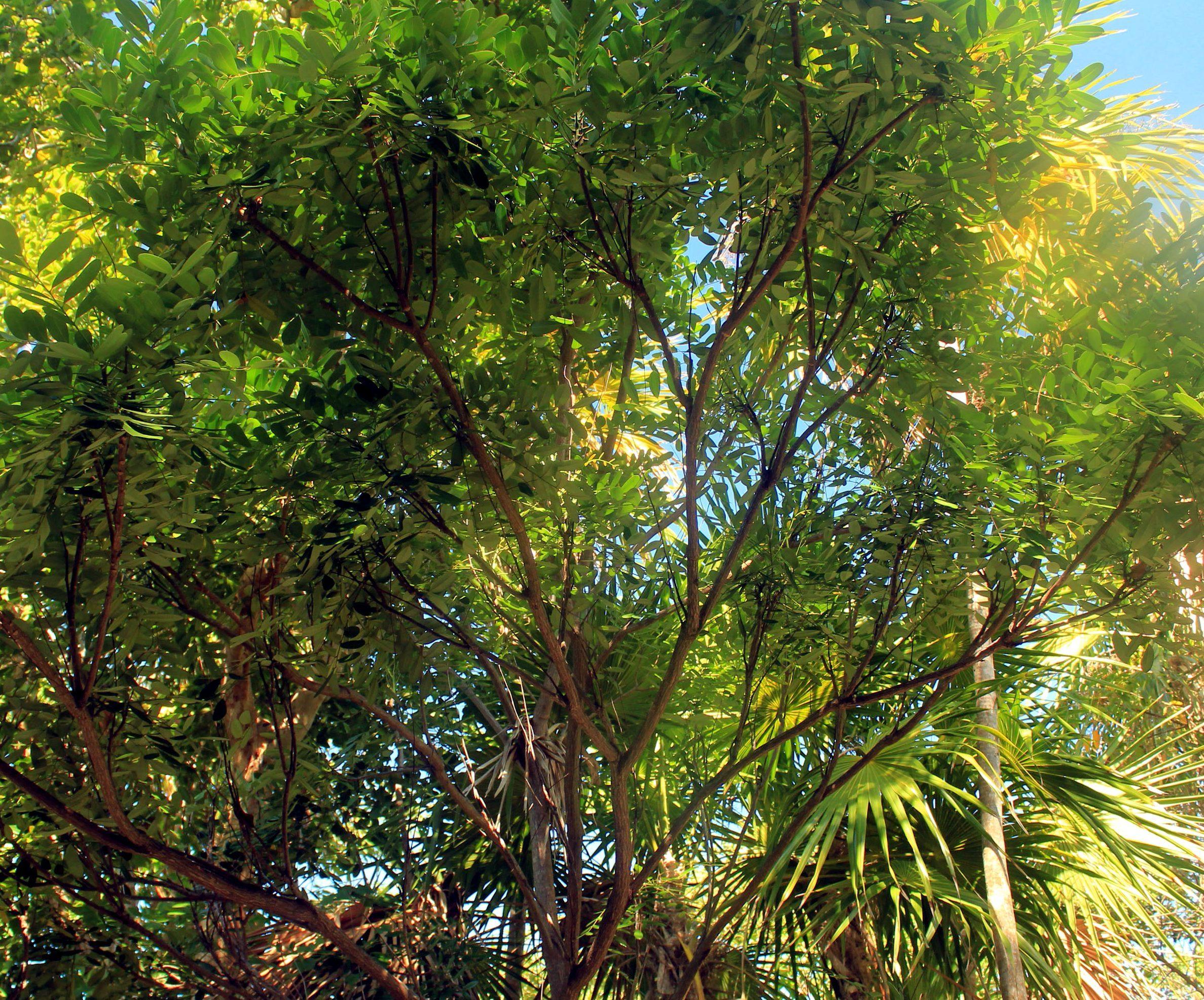 райско дърво Безплатна снимка: райско дърво райско дърво