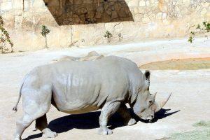 white rhino, animal