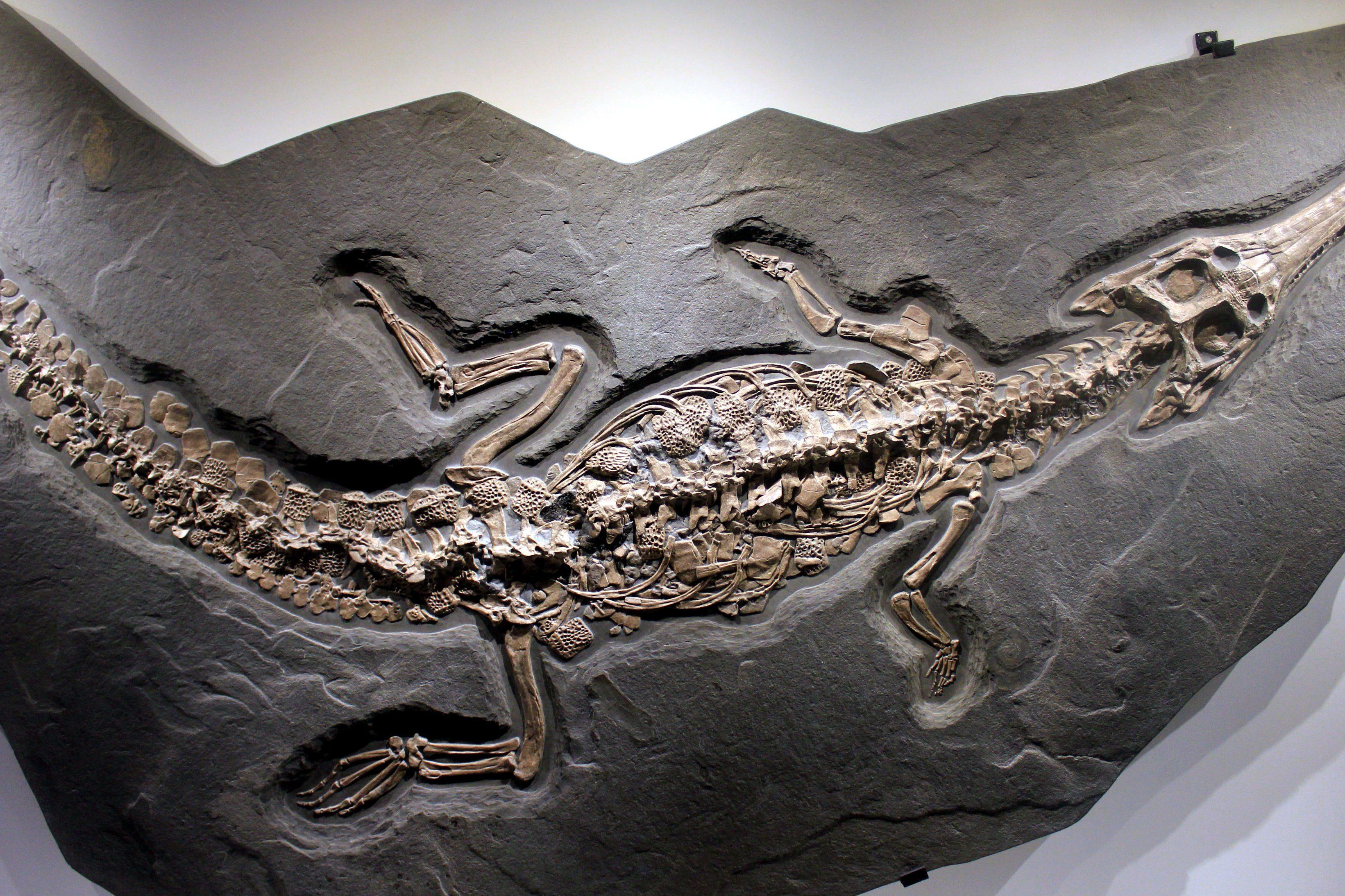Imagen gratis: Steneosaurus, fósil, roca, edad de piedra