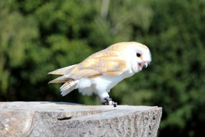 white owl, sitting, stump