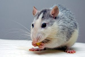 rat, eating food