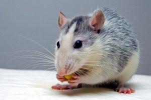 rat, eating food