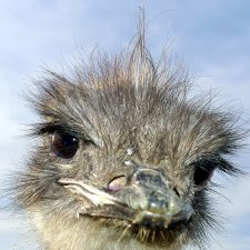 ostrich, head, close up