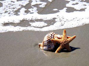 starfish, conch, vector, clipart