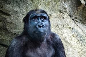 gorilla, monkey, animal, face