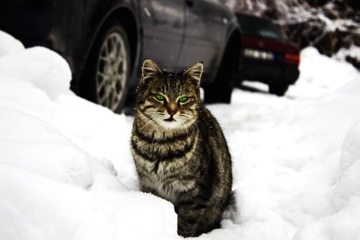 mačku, automobil, sisavac, ljubimac