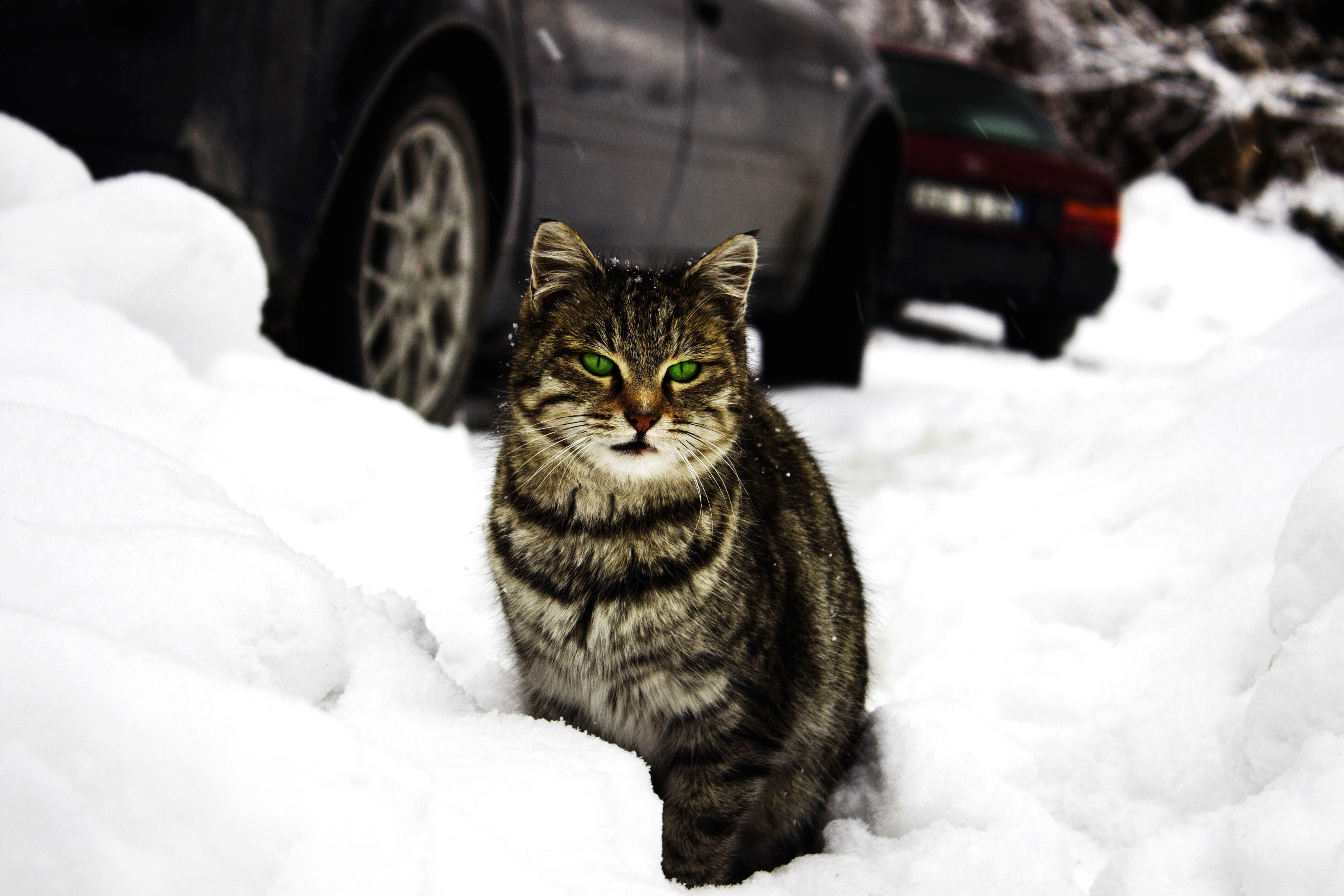 8100 Gambar Hewan Mamalia Kucing Gratis
