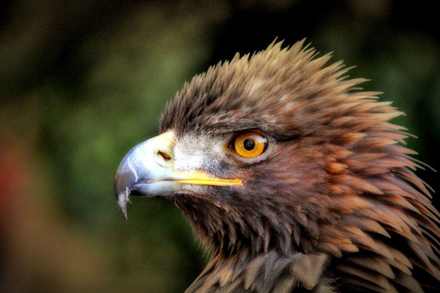 Steinadler, Porträtfoto von, Vogel