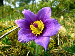 flor del viento de la montaña