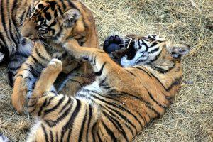 sumatran tiger, cubs, animals