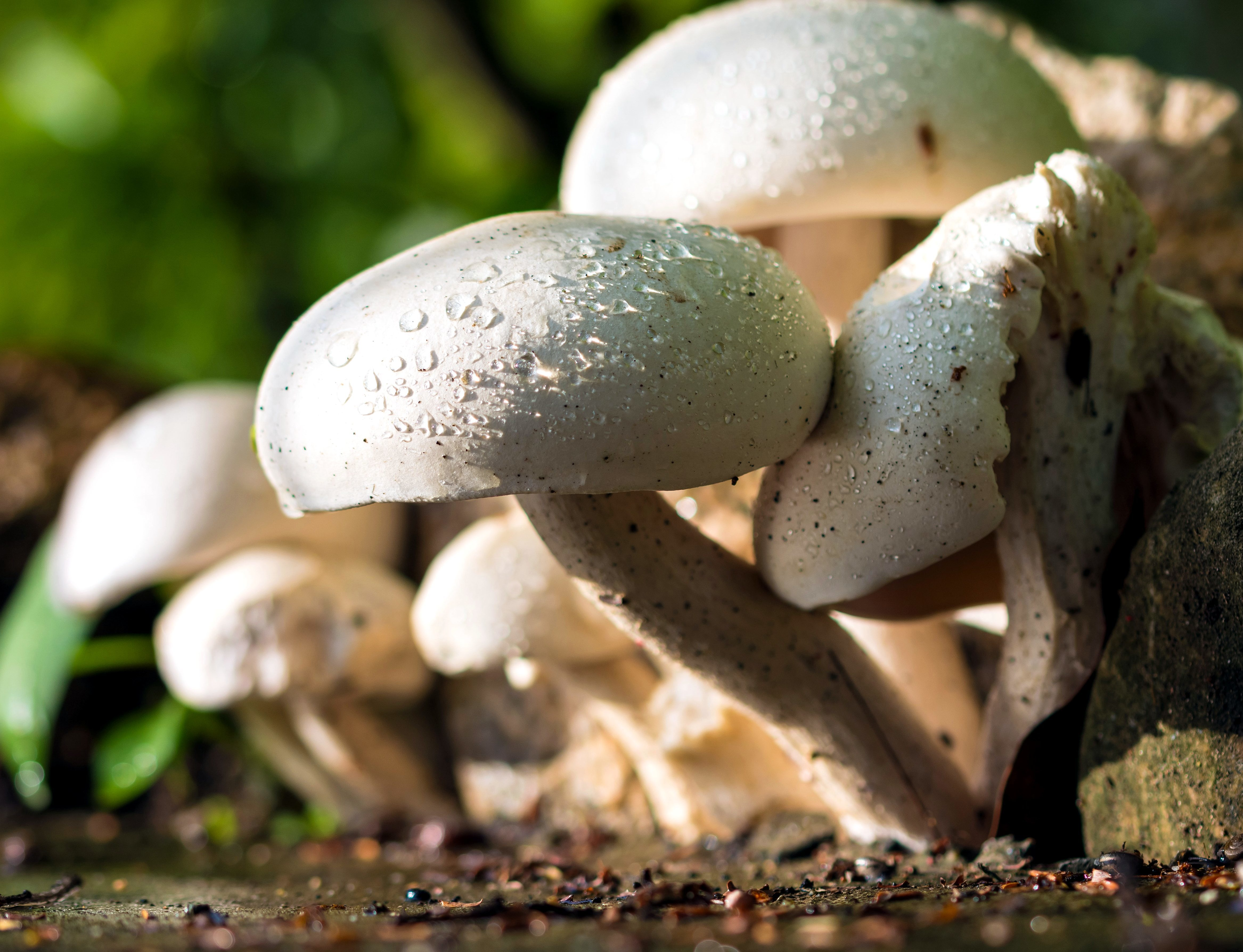 mushrooms, growing, woods