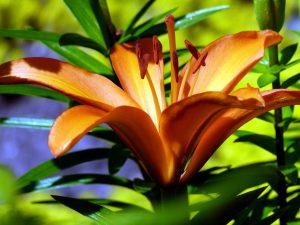 kvetina, kvitnúce, tiger lily kvetina