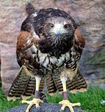 stare hawk bird