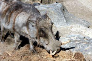 Warthog zviera, divoké prasa