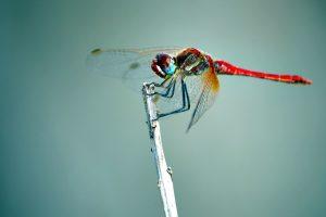 libélula de insectos, alas