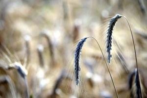 straw, summer, wheat, field