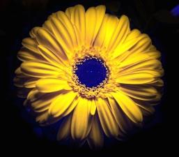 pétalos, flor, floración, flor
