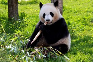 panda bear, eating, bamboo, ground