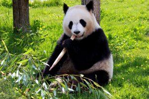 panda bear, eating, bamboo, ground