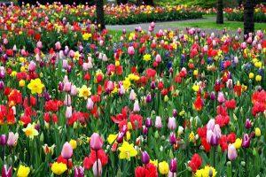 colorful tulips, flower field, park, garden