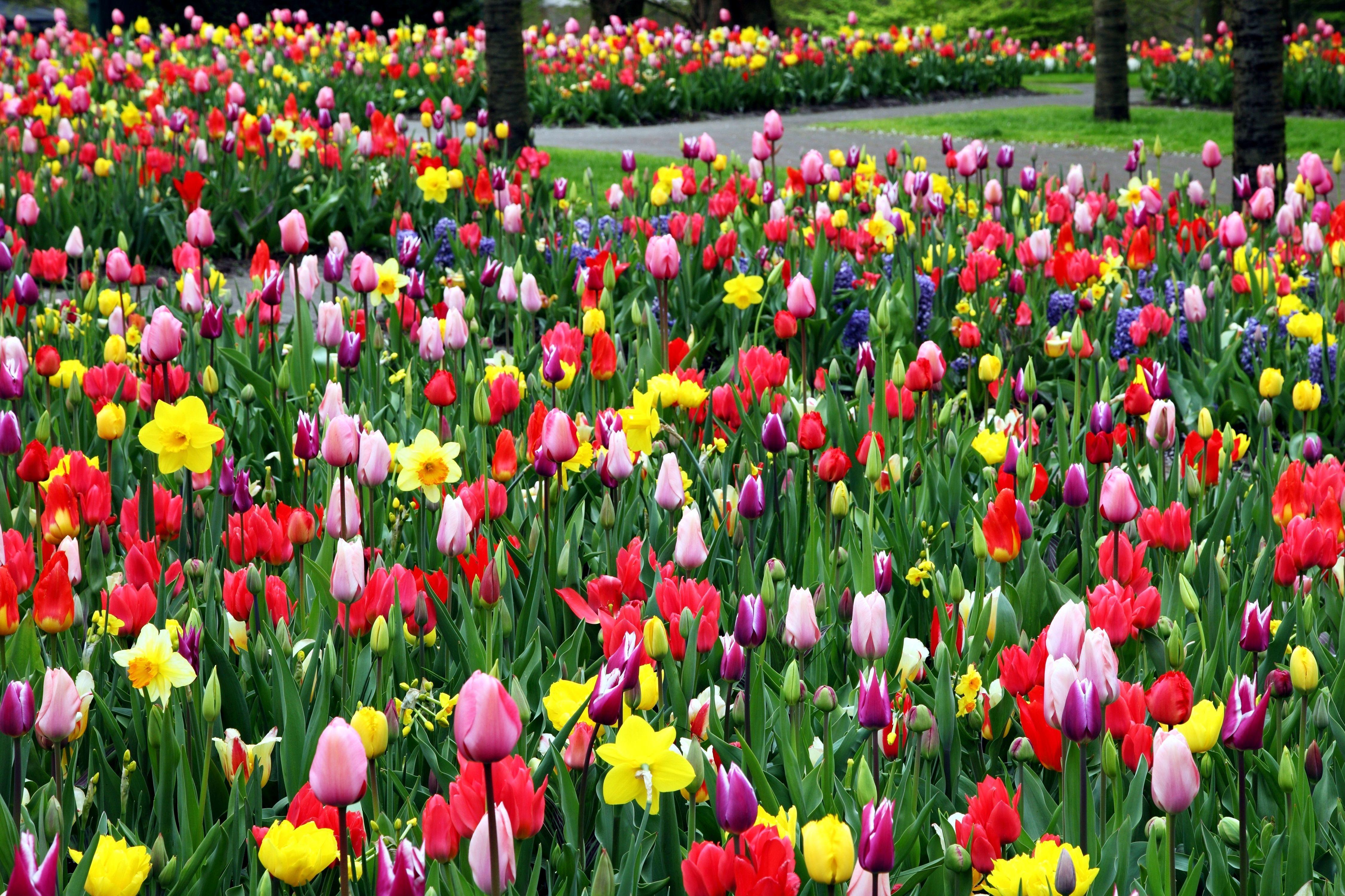 Gambar Gratis Tulip Yang Berwarna Warni Bunga Lapangan Parkir Taman