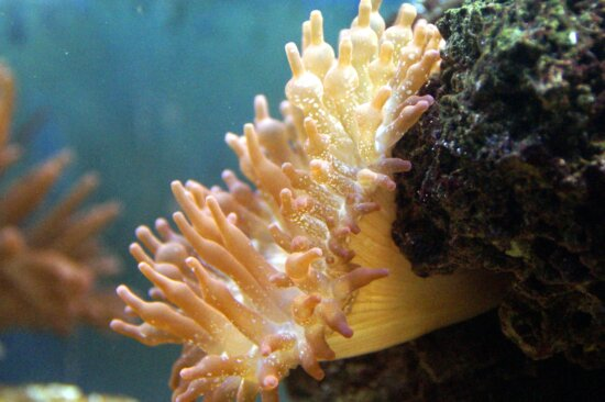 sea anemone, ocean, underwater, coral