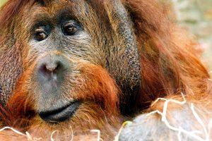 orangutan monkey, great ape, animal