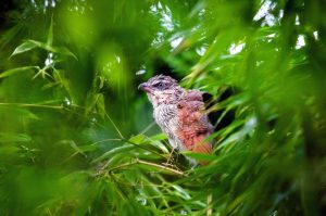 coucal bird, tree