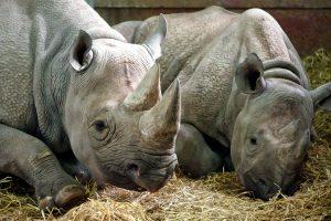 animals, rhinos, zoo park