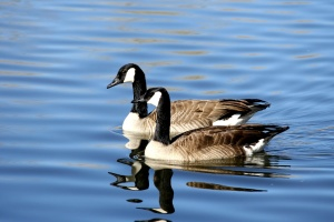 Canadian geese, birds, blue water, lake