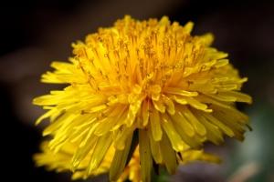 pissenlit, fleur, gros plan