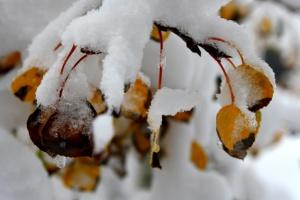 autumn leaves, aspen leaves, snow, winter
