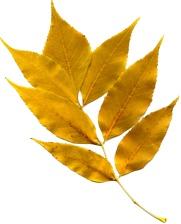 feuille d'or, feuilles d'automne, texture