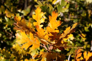 golden leaves, autumn, scrub, oak leaves, close up