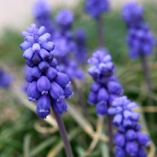 grape hyacinth flowers, close up