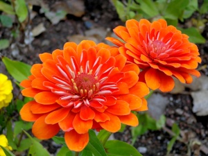 orange flower, zinnia flowers