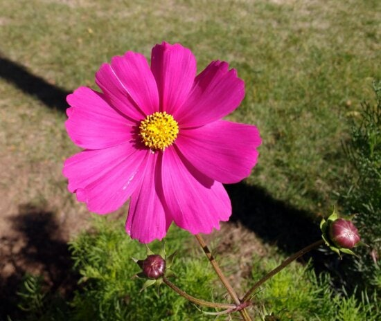 pink, cosmos flower