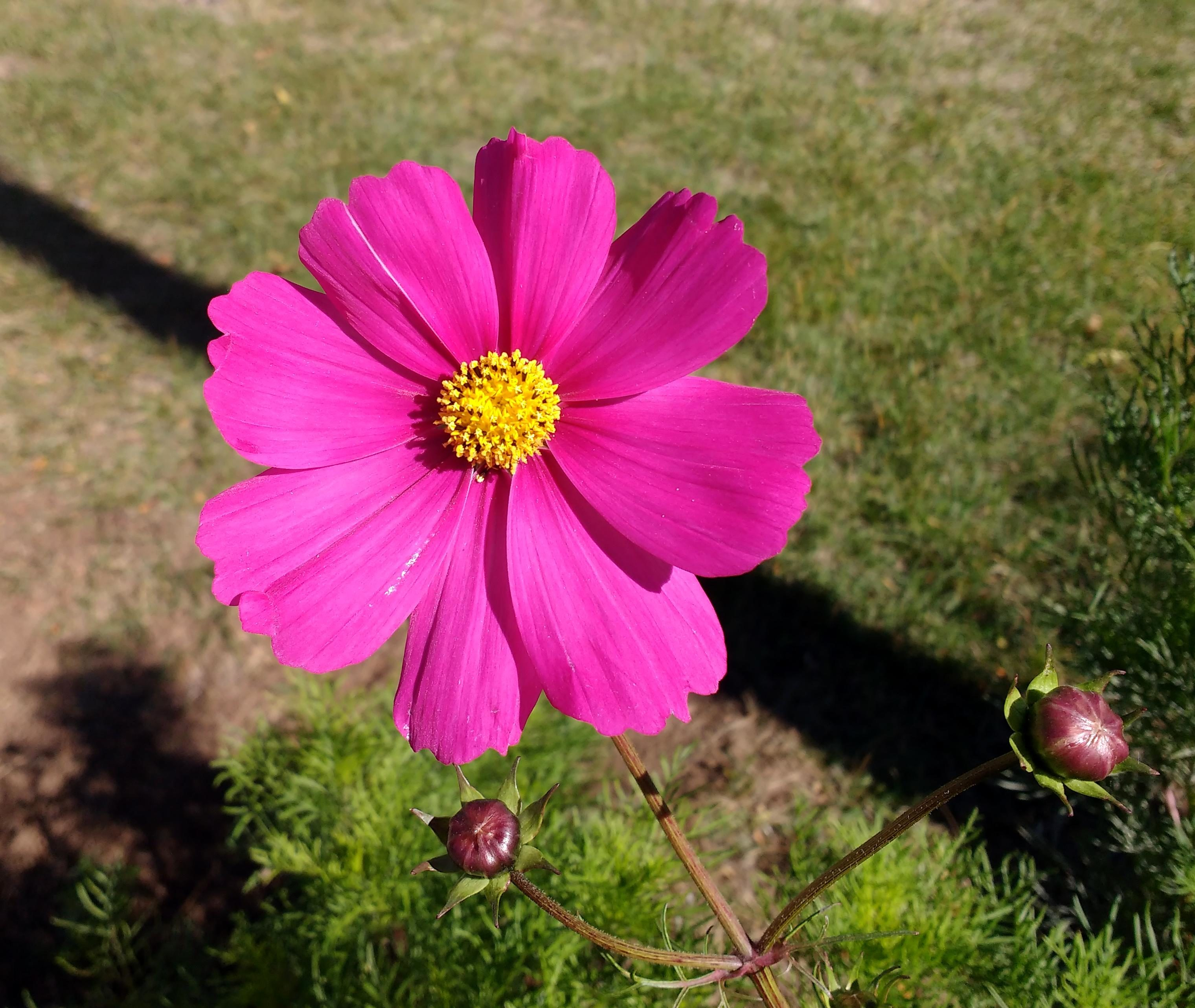 Free picture pink cosmos flower pink cosmos flower mightylinksfo Image collections
