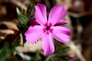 pink, phlox flower, close up