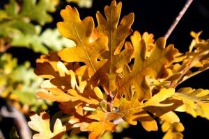 bozót, tölgy, tölgy levelek, ősz