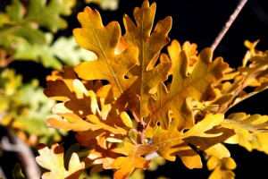 scrub oak tree, oak leaves, autumn