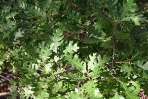 scrub oak, oak leaves, tree