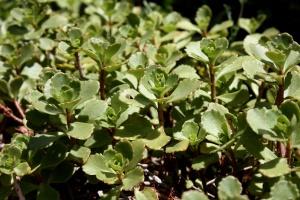Sedum spurium biljka