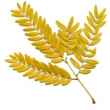 branchette, feuille jaune, automne, feuilles de criquets