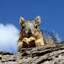 squirrel, peering, branch