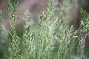 tall grass, spring, green grass, seeds