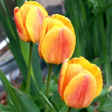 three flowers, yellow flame, tulips flowers