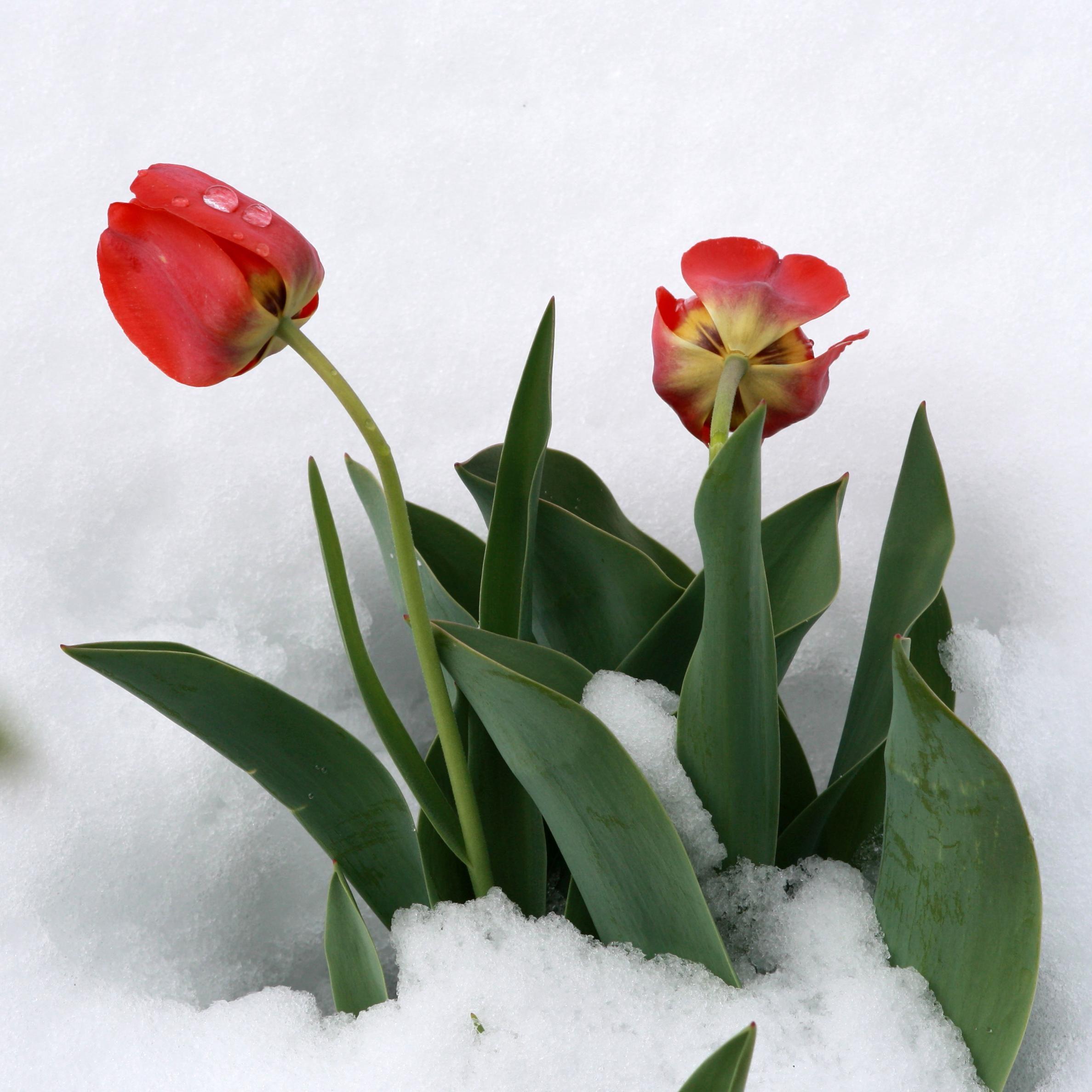 картинки тюльпаны в феврале крайней