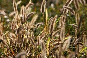 wild grass, seed, grass heads